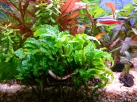Cryptocoryne scurrilis